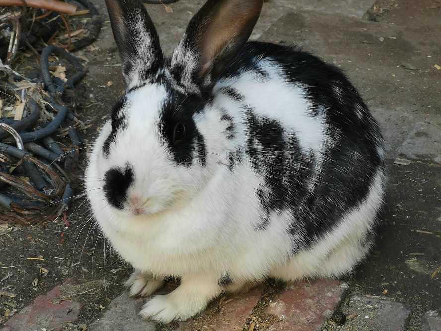 哇,连家养的小兔子也变肥了,甜蜜警告